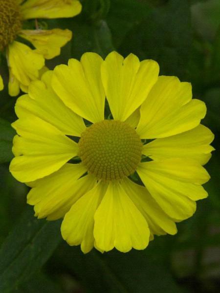 Helenium x cultorum 'Kanaria', Garten-Sonnenbraut