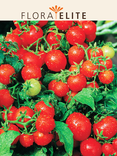 Tomate 'Balkonzauber' (Art.Nr. 21535)