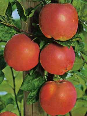 Apfel Mantet