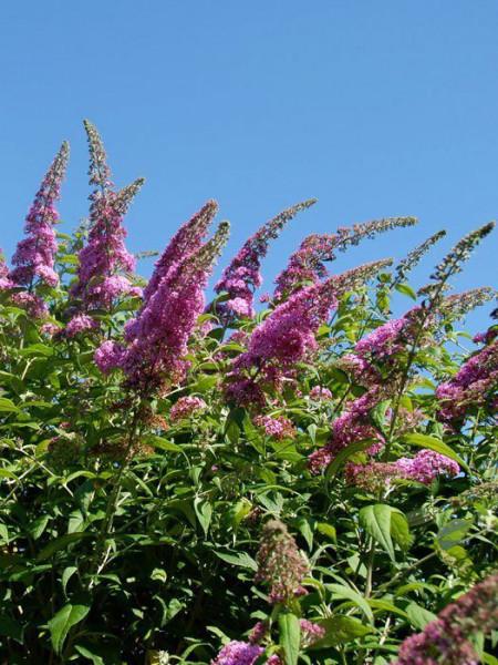 Zahlreiche Blütenstände des Sommerflieders 'Pink Delight'
