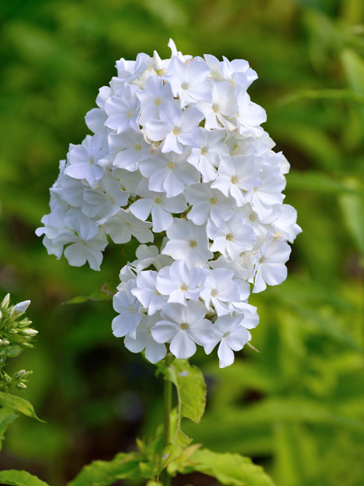 phlox paniculata 39 david 39 sommerphlox gartencenter shop24. Black Bedroom Furniture Sets. Home Design Ideas