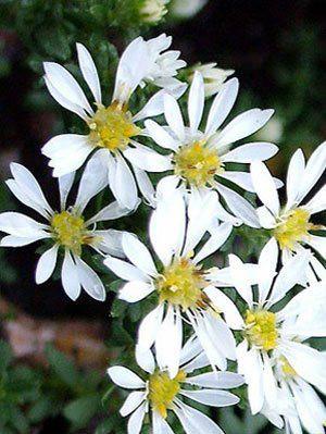 Aster ericoides 'Prostratus', kriechende Myrtenaster, Garten-Erika-Aster