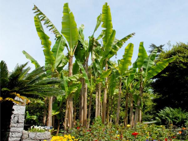Bananenpalme im Blumenbeet