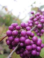 Callicarpa bodinieri 'Profusion', Schönfrucht