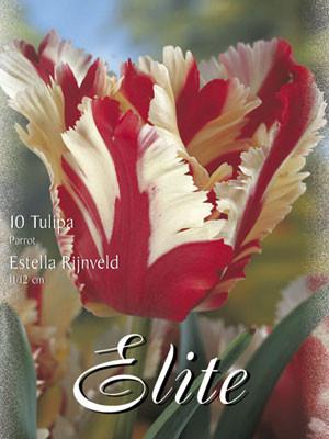 Papagei-Tulpe 'Estella Rijnveld' (Art.Nr. 595558)
