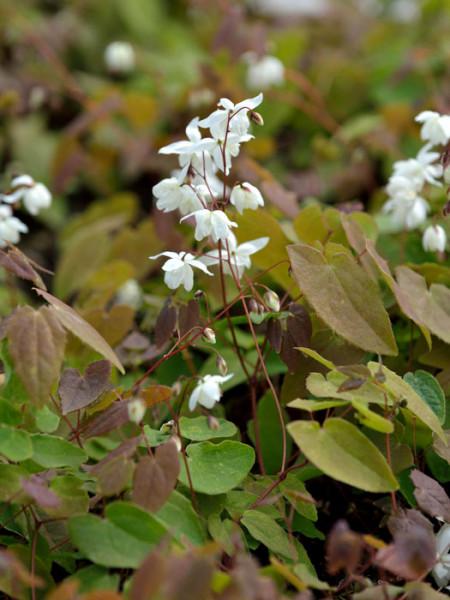 Blatt und Blüte der Elfenblume 'Niveum'