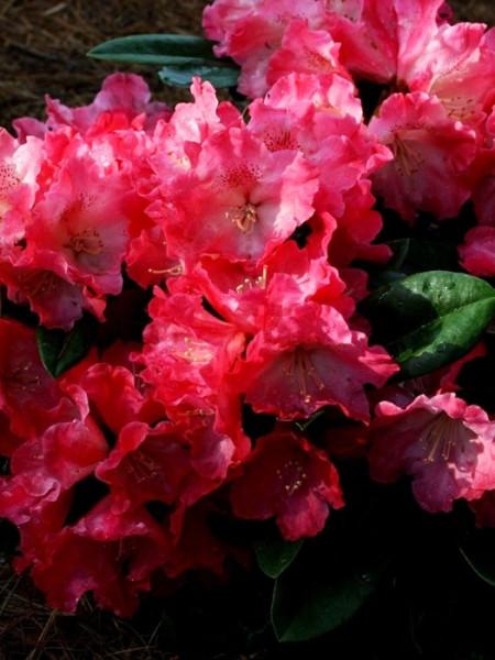 Rhododendron yakushimanum 'Morgenrot'
