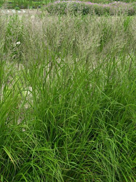 Calamagrostis x acutiflora 'Karl Förster' (M), Garten-Reitgras, Sandrohr
