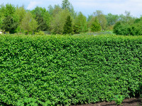 Ligustrum vulgare 'Atrovirens', Immergrüner Liguster