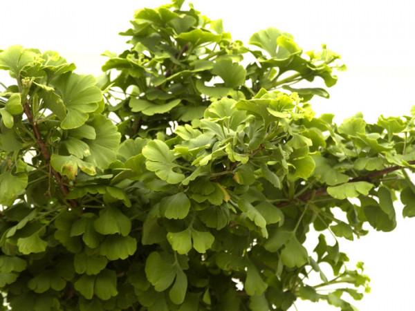 Ginkgo biloba Mariken, Kugel-Ginkgo - XXL-Produkt