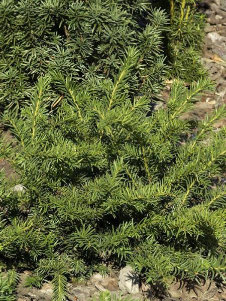 Tafel-Eibe als Bodendecker eingesetzt