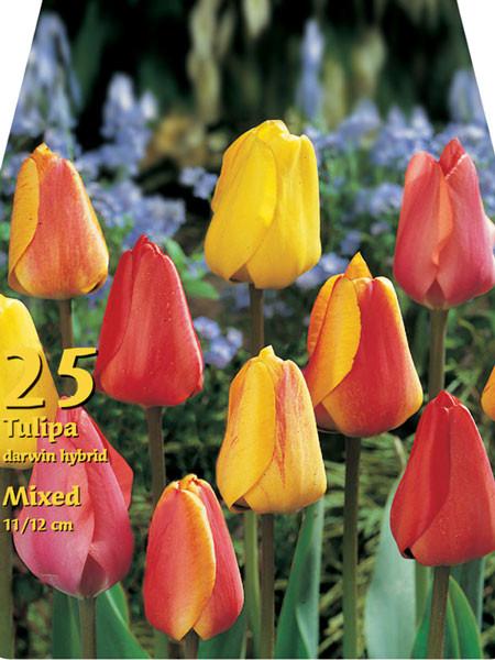 Triumph-Tulpen-Prachtmischung (Großpackung) (Art.Nr. 597584)