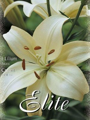 Asiatische Lilien-Hybride 'Weiß' (Art.Nr. 597104)