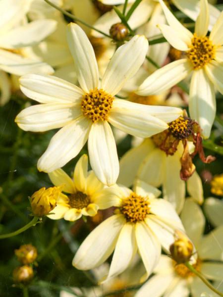 Coreopsis verticillata 'Moonbeam' (M), Quirlblättriges Schönauge, Mädchenauge, Netzblattstern