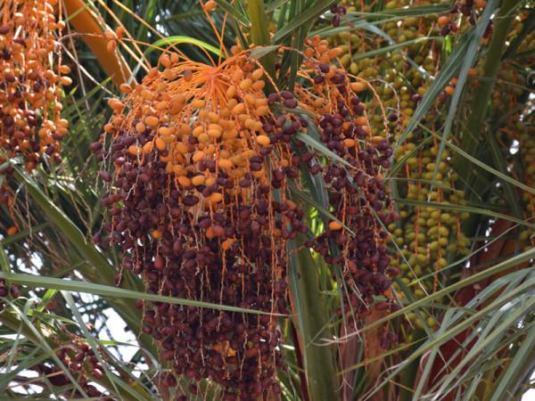 Früchte der Kanarischen Dattelpalme