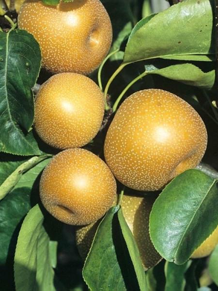 Apfelbirne Nashi 'Kosui', chinesische Apfelbirne, Asienbirne