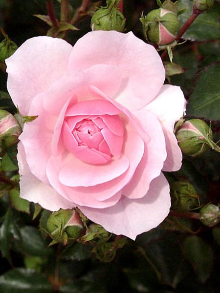 Blüte der Rose Bonica