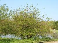 Salix sachalinensis 'Sekka', Japanische Drachen-Weide