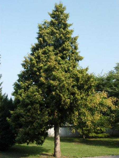 Thuja Baum