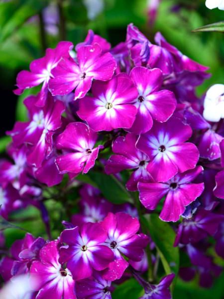 Phlox paniculata 'Uspech', Flammenblume, Sommerphlox