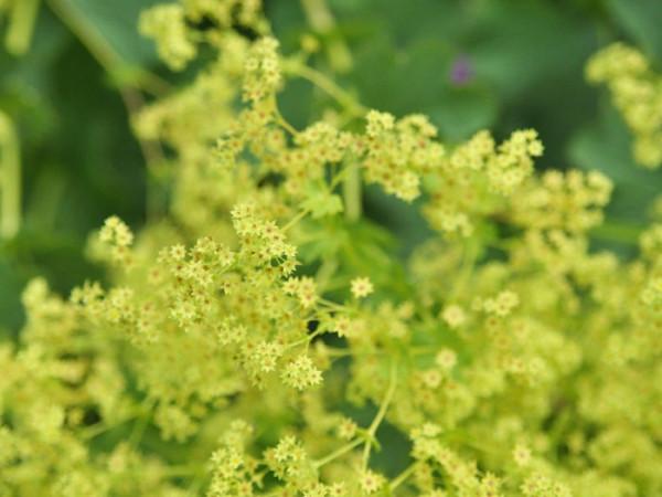 Die Blüte des kahlen Frauenmantels aus der Nähe