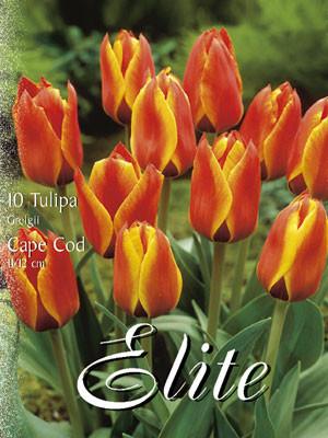 Greigii-Tulpe 'Cape Cod' (Art.Nr. 595760)