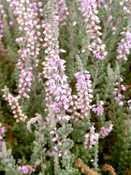 Blüte der Besenheide 'Silver Knight'