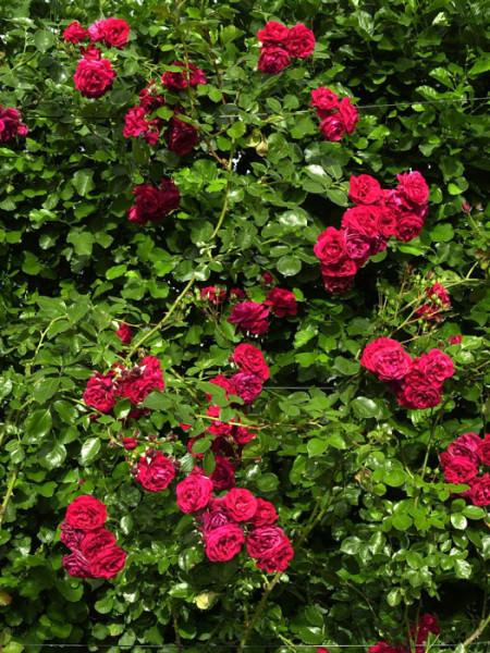 Strauch der Rose Sympathie