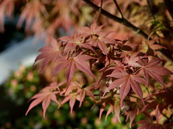 Herbstfärbung von Acer Bloodgood