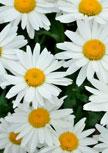 leucanthemum-gruppenstolz56d6eff2939b1