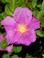 Rosa rugosa, Kartoffelrose, Apfelrose