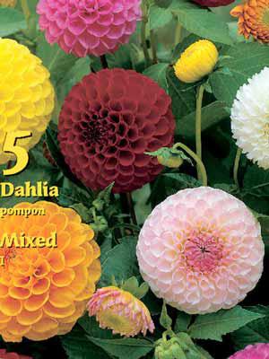 Pompon-Dahlien-Prachtmischung, Dahlia (Art.Nr. 522321)