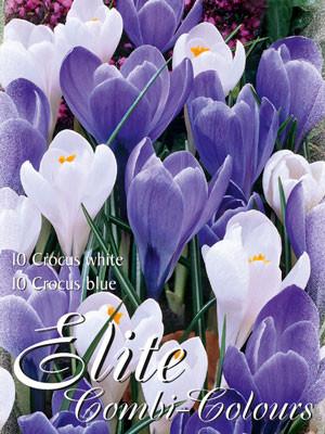 Edle Farbkombination mit großblumigen Krokus-Sorten in den Farben Blau und Weiß (Art.Nr. 598000)