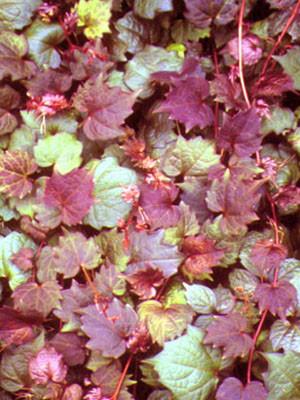 Rote Blätter Wilder Wein Veitchii Purpurea