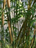 Fargesia denudata 'Lancaster', Überhängender Bambus, Wasserfall-Bambus