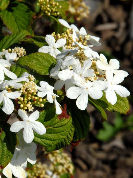 Japanischer Zwergschneeball Blüte