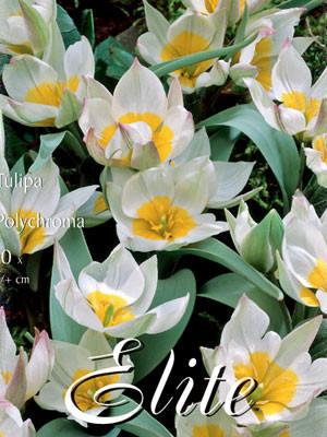 Botanische Tulpe 'Polychroma' (Art.Nr. 595664)