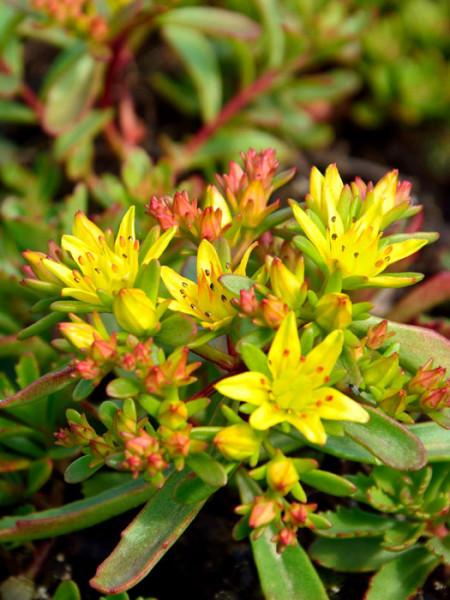 Sedum floriferum 'Weihenstephaner Gold', Gelbe Fetthenne, Gold-Mauerpfeffer, Fettblatt, Steinbrech