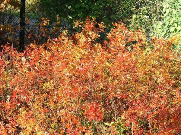 Glanzrose Herbst