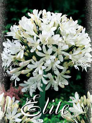 Schmucklilie 'White', Agapanthus umbellatum (Art.Nr. 520714)