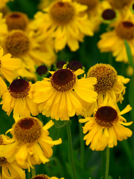 Helenium bigelovii 'The Bishop', Sommer-Sonnenbraut