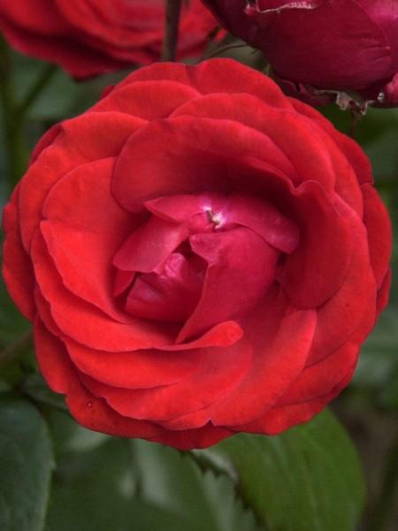 Blüte der Rose Kosmos