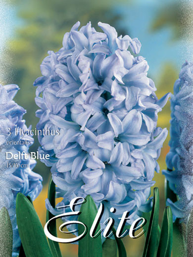 Hyazinthe 'Delft Blue' (Art.Nr. 595008)