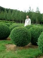 Buchsbaum-Kugel, Buxus