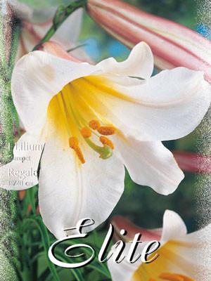 Trompeten-Lilie 'Regale' (Art.Nr. 597052)