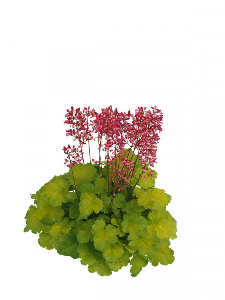 Heuchera Little Cuties 'Sweet Tart', Purpurglöckchen