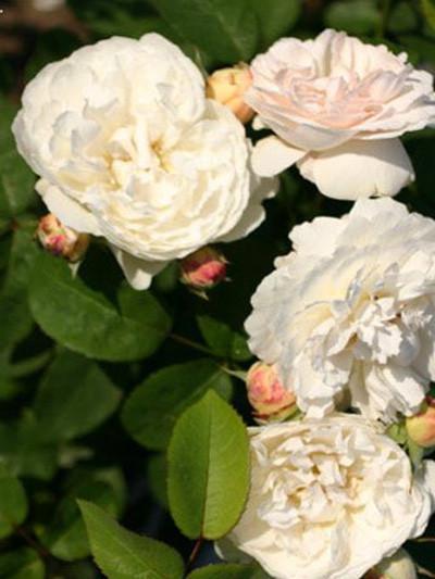 Gefüllte Blüten der Rose Winchester Cathedral