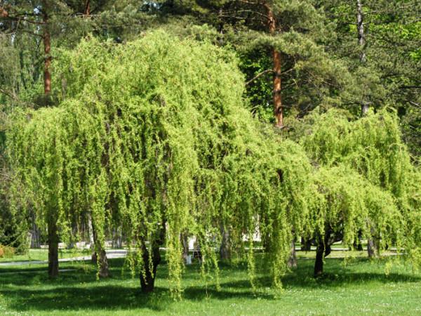 Weide Tortuosa Pflanze