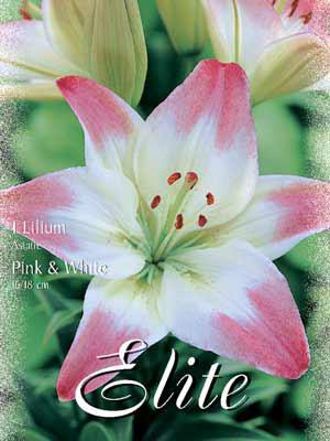 Asiatische Lilien-Hybride 'Pink and White', Lilium (Art.Nr. 521672)