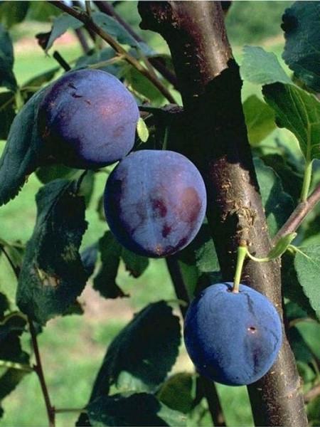 Bühler Frühzwetsche mit Früchten